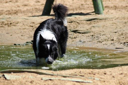 Dog, Border Collie, Play, Water, Drink