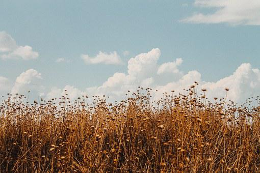 Field, Wheat, Sky, Landscape, Agriculture, Nature
