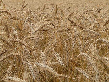 Spike, Rye, Cereals, Grain, Field, Rye Field, Cornfield