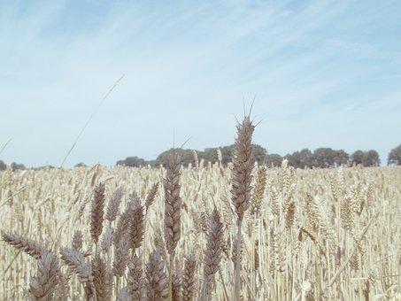 Grain, Cornfield, Field, Ear, Cereals, Wheat