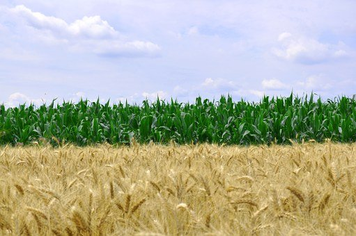 Corn, Wheat, Food, Grain, Agriculture, Harvest, Crop