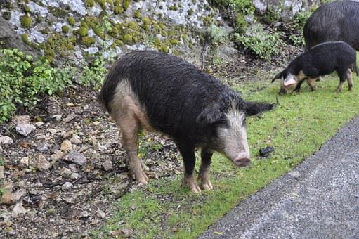 Corsican, Pig, Wild, Nature, France, Mountain