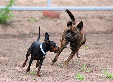 Dogs, Friends, Miniature Pinscher, Striezel, Animal