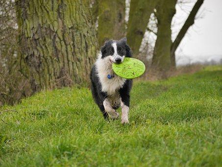 Border Collie, Dog, Frisbee, Play, Run