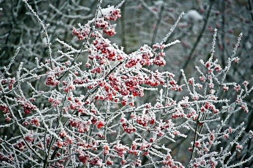 Ice, Frost, Berries, Bush, Frozen, Winter, Cold, Snow