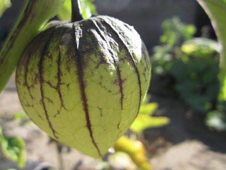 Tomatillo, Mexican Husk Tomato, Green Tomato, Green