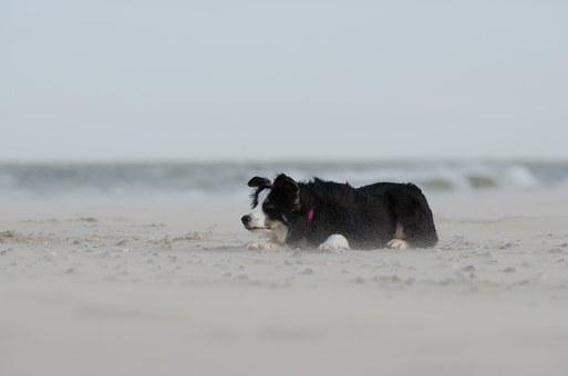 Border Collie, Beach, Hats, Herding Dog, Play, Summer