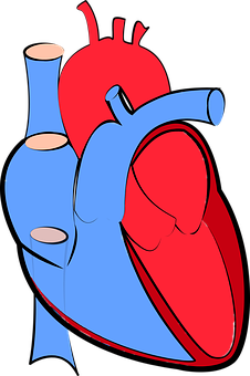 Human Heart, Blood Flow, Oxygenated And Deoxygenated