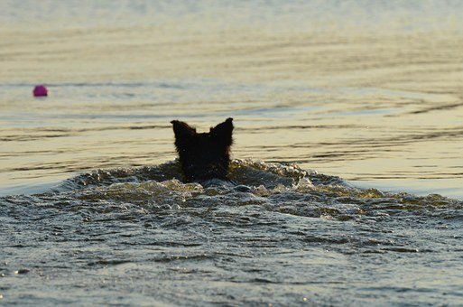 Border Collie, Summer, In The Water, Fetch Ball