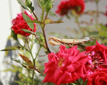 Praying Mantis, Macro, Insect, Brown, Bug, Roses