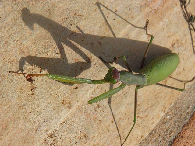Insect, Praying Mantis, Mantid, Bug, Predator, Green