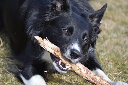 Dog, Border Collie, Stick, Play, Kind