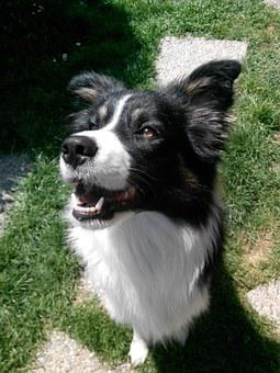 Cane, Dog, Dogs, Canedapastore, Border Collie, Laying