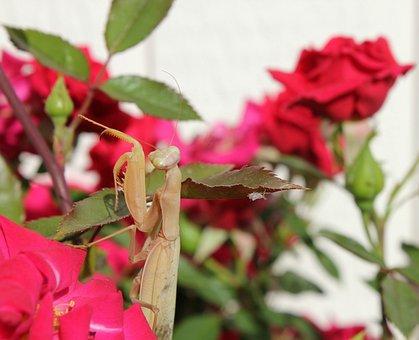 Praying Mantis, Macro, Garden, Brown, Praying, Mantis