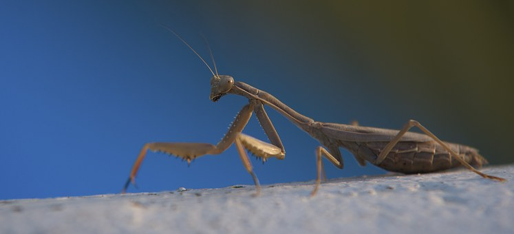 Praying Mantis, Macro, Blue, Southern Europe, Greece