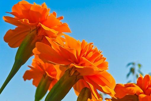 Flower, Marigold, Blossom, Bloom, Plant, Balcony Plant