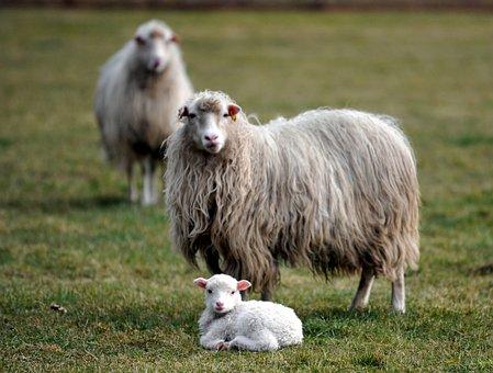 Lamb, Sheep, Passover, Wool, Meadow, Nature