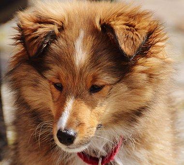 Collie, Mini Colli, Young Animal, Dog, Cute, Sweet