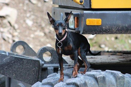 Miniature Pinscher, Reh Pinscher, Dog, Pinscher