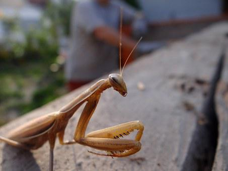 Praying Mantis, Insect, Brown, Nature, Animal