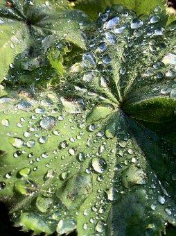 Frauenmantel, Plant, Nature, Raindrop, Leaf, Water