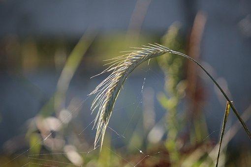 Rye, Ear, Grass, Cereals, Grain, Plant, Nourishing Rye