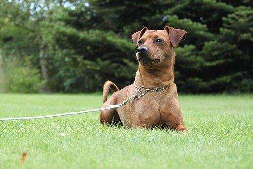 Dog, Miniature Pinscher, Obedience, Nature