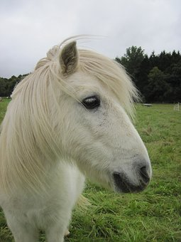 Pony, Shetty, Shetland Pony, Pasture, Small, White