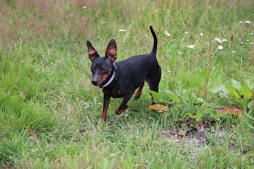 Miniature Pinscher, Pinscher, Striezel, Dog, Pet