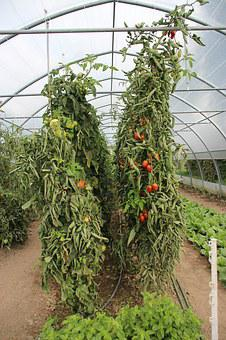 Tomato, Tomatoes, Red, Vine, Ripe, Plant, Growing