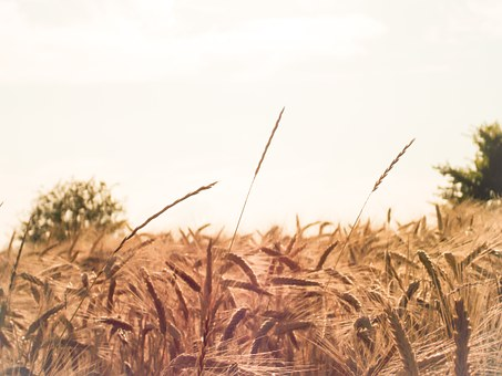 Village, Corn, Plants, Poland, Poland Village, Harvest
