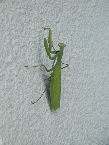 Praying Mantis, Insect, Nature, Fishing Locust