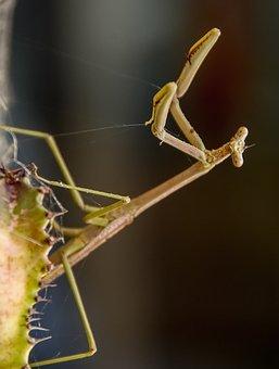 Praying Mantis, Mantid, Mantis, Insect, Large, Brown