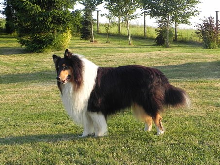 Collie, Three Coloured, Tricolor, Purebred Dog, Dog