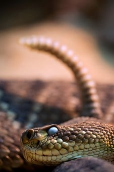 Snake, Snakehead, Rattle, Venomous Snake, Close