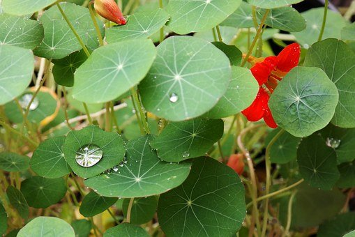 Drop Of Water, Shine, Nasturtium, Raindrop