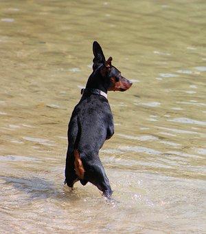 Miniature Pinscher, Striezel, Small Dog, Pet, Pinscher