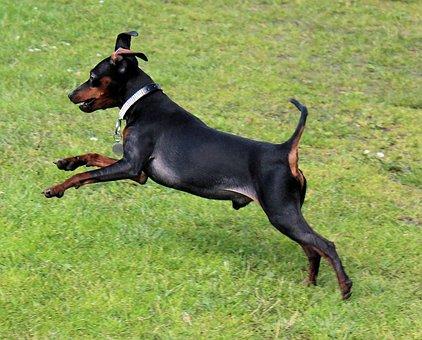 Dog, Miniature Pinscher, Reh Pinscher, Striezel, Pet