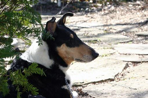 Dog, Pet, Canine, Smooth, Collie, Black, White, Tan