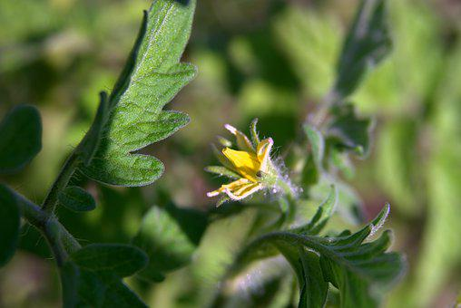 Tomato Flower, Tomato, Blooming, Yellow, Flower, Blooms