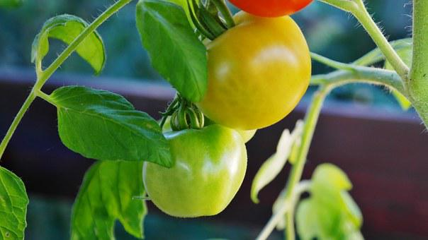 Bush Tomatoes, Tomatoes, Tomato Shrub, Tomato Fruit