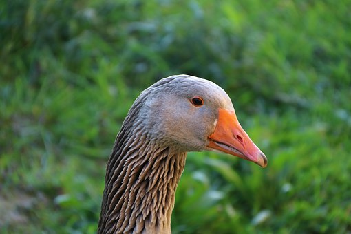 Goose, Toulouse Goose, Country Life