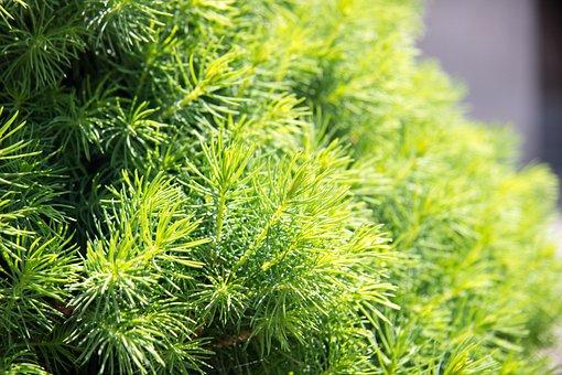 Needles, Spruce, Freshness, Macro, Branch, Tree, Nature