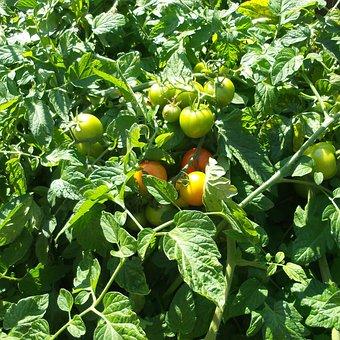 Tomato, Plants, Heirloom, Gardering, Vegetables