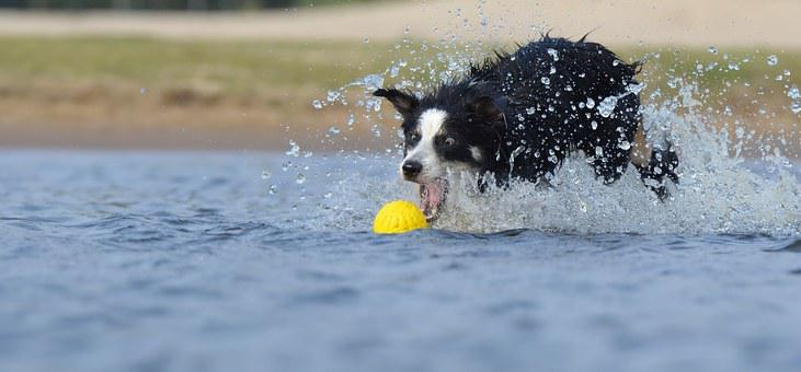 Funny, Border Collie, Jump, Water, British Sheepdog