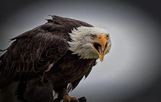 Bald Eagle, Bird, Bird Of Prey, Adler, Raptor, Usa