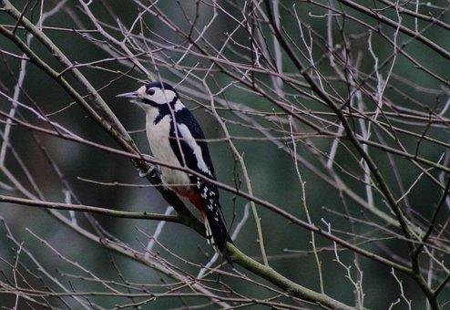 Great Spotted Woodpecker, Bird, Songbird, Garden, Tree