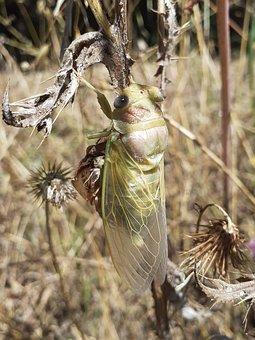 I Cicálido, Cicada, Crayfish, Insect, Muda