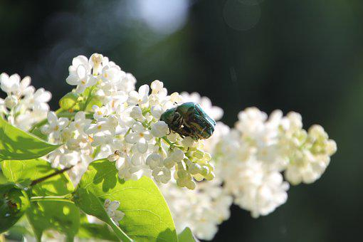 Lilac, Beetle, Blossom, Bloom