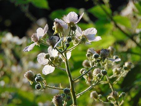 Bramble, Blossom, Blackberry, Nature, Summer, Plant